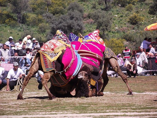Camel wrestling Turkish tradition
