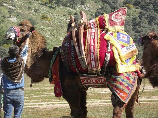 Camel wrestling kizilcayikik