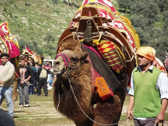 Camels wrestling