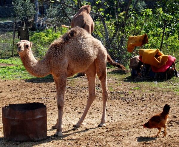Camel in Kayakoy