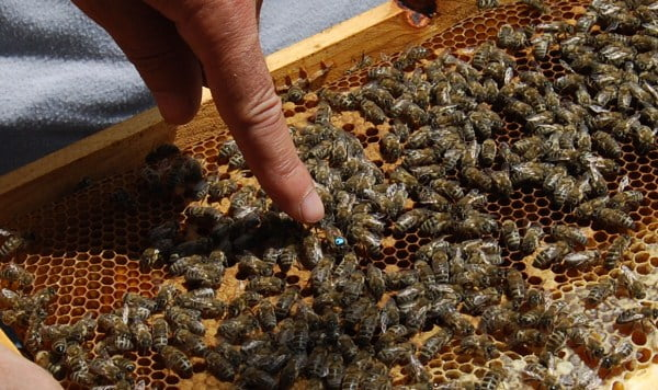 how to get a queen bee for beekeeping