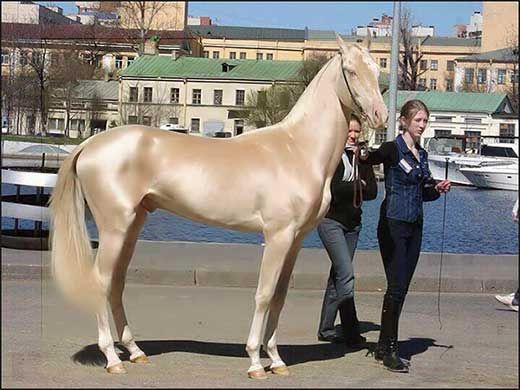 most-beautiful-horse-in-the-world