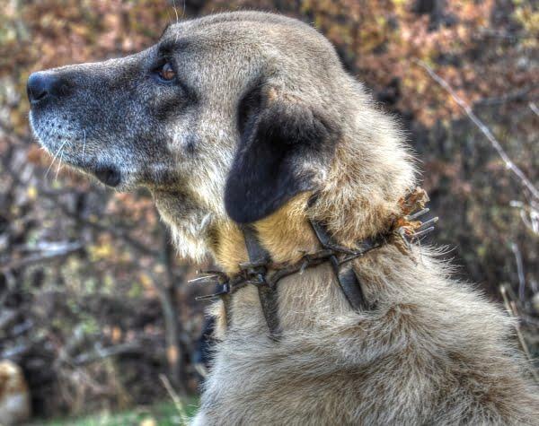 spikes on a dog collar