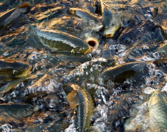 Balikli gol fish