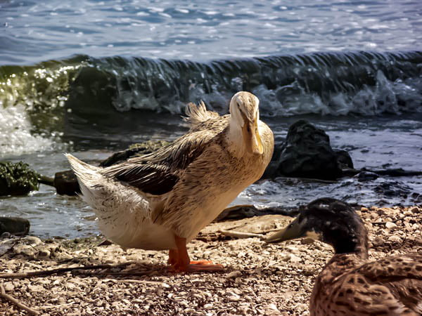 Bafa lake ducks
