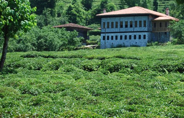 Tea plantation rize