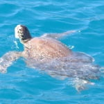 Caretta Turtle Simena