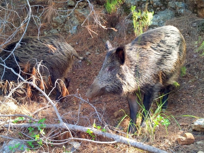 Wild boars of Dilek National Park