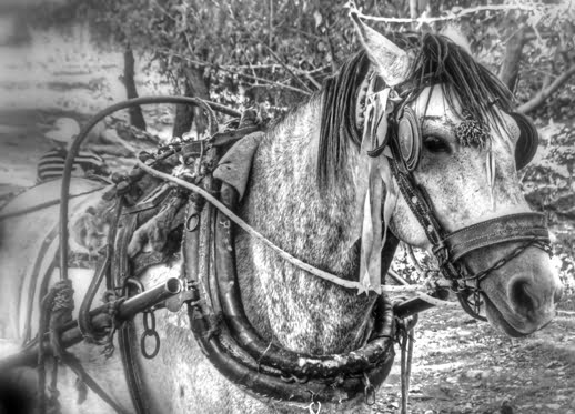 Working horse in Turkey