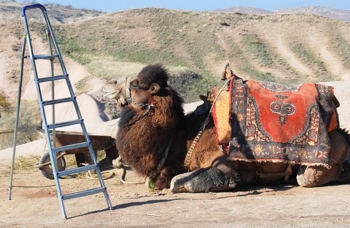 Camel of Uchisar