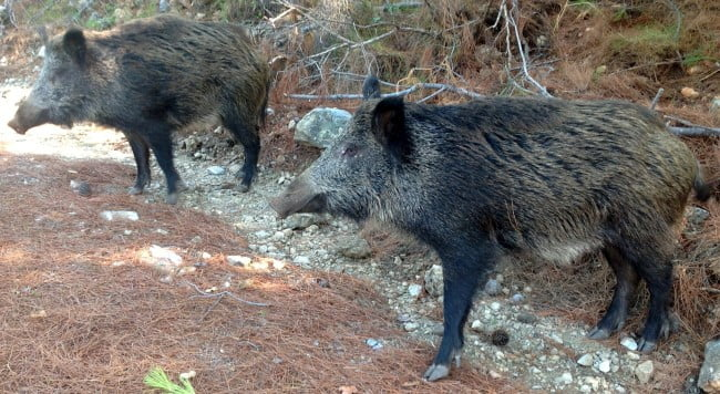 Wild Boars at Dilek Park